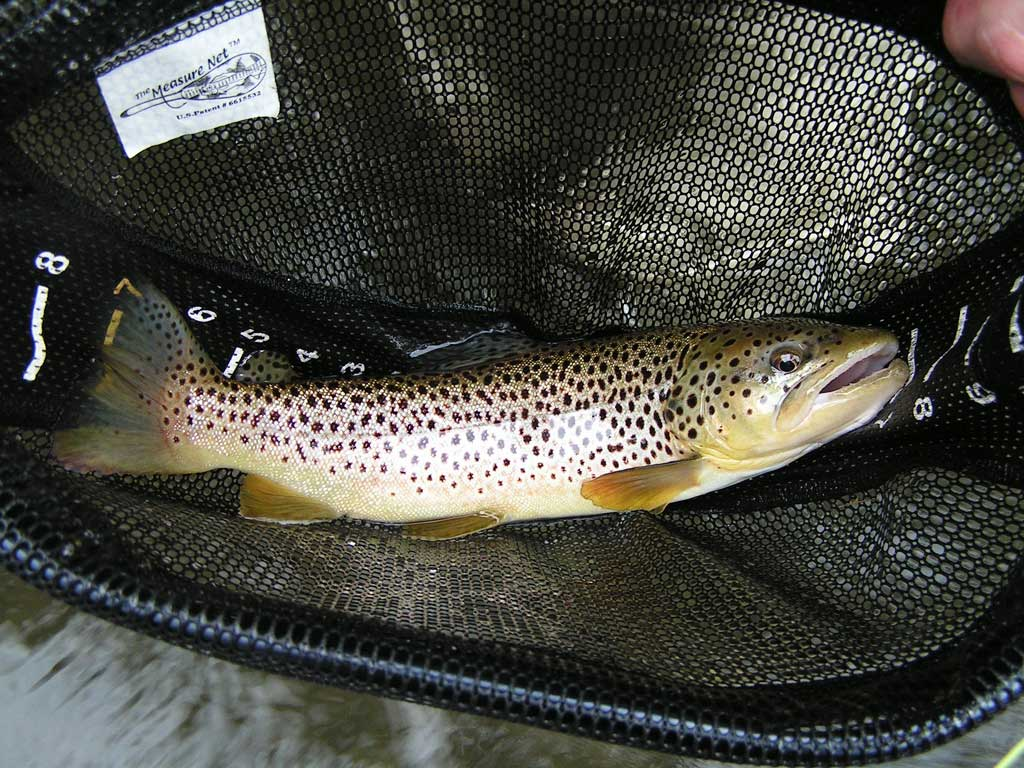 Wild brown from Falling Spring