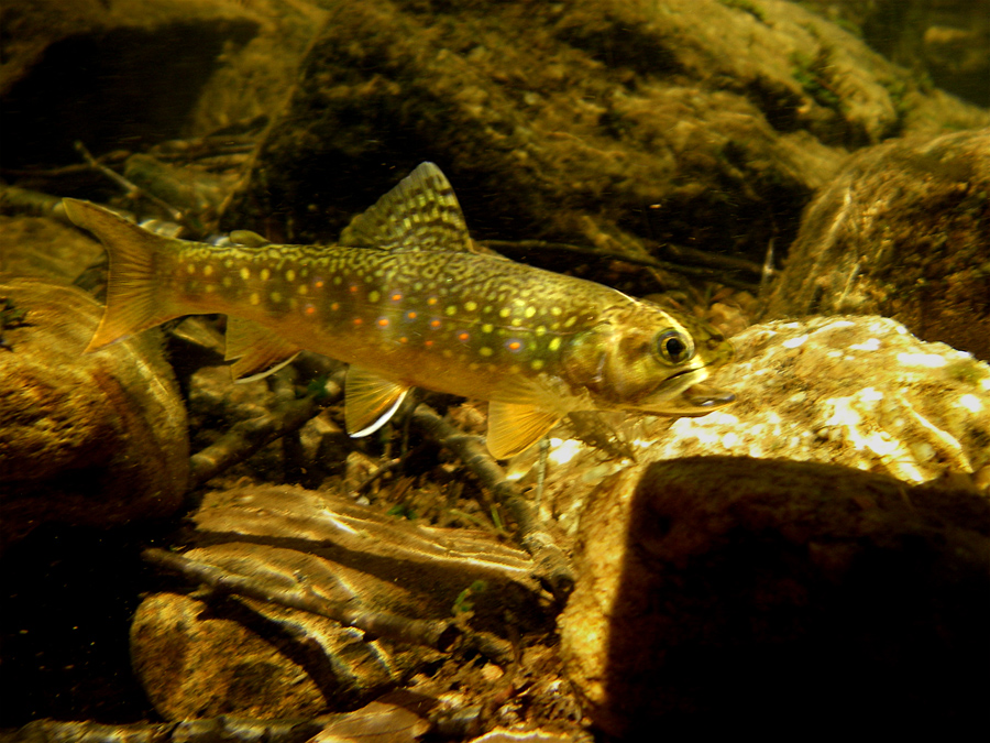 Native Brookie