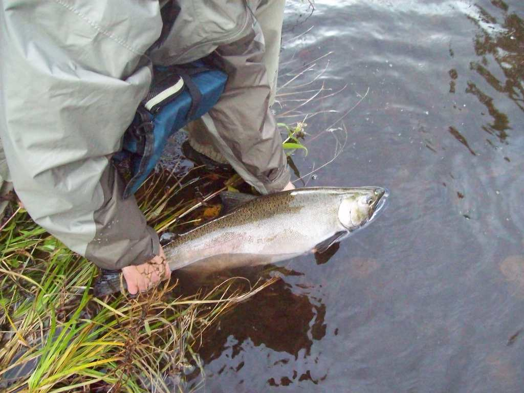 Another coho
