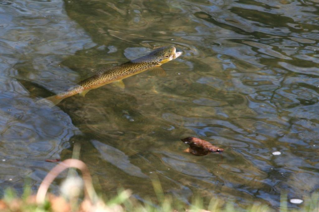 Rise of the Brown Trout
