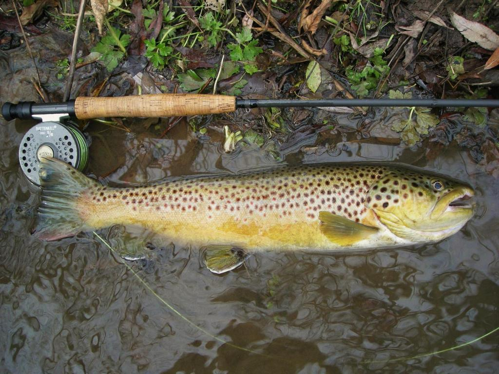 Spring Creek Brown