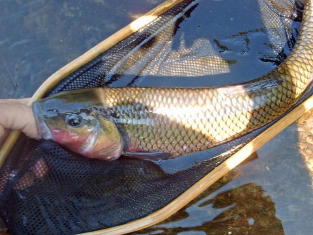 Penns Creek Carp