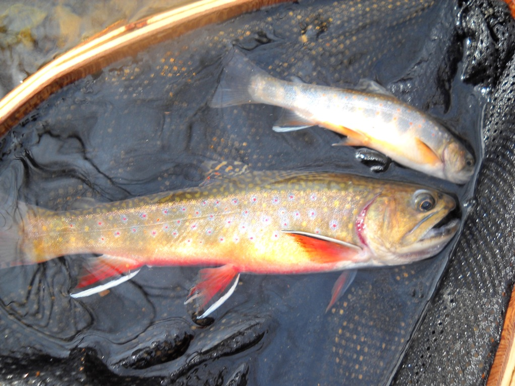 spring brookie double!