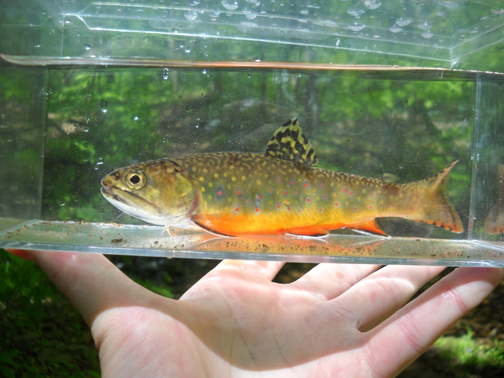 another brookie