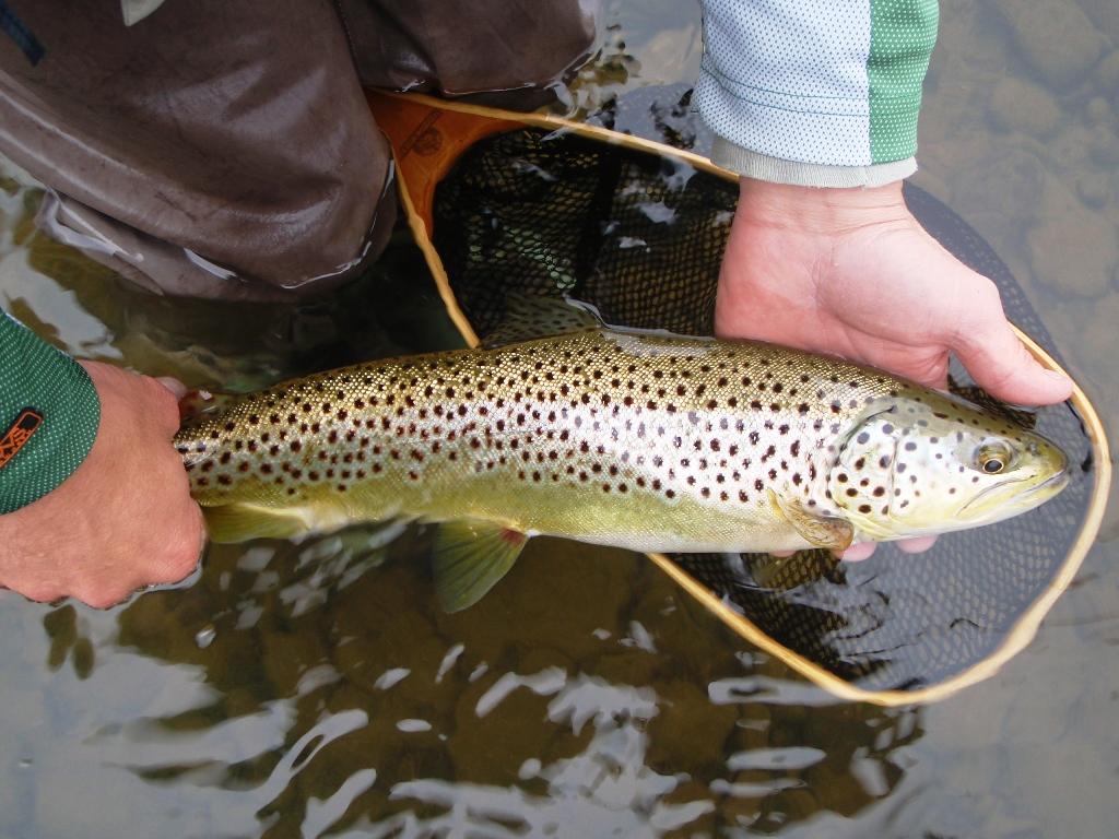 Beaverkill brown