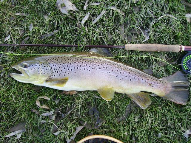 Hometown Brown Trout