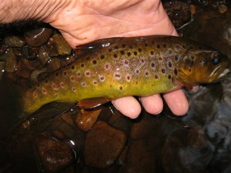 Wild brown