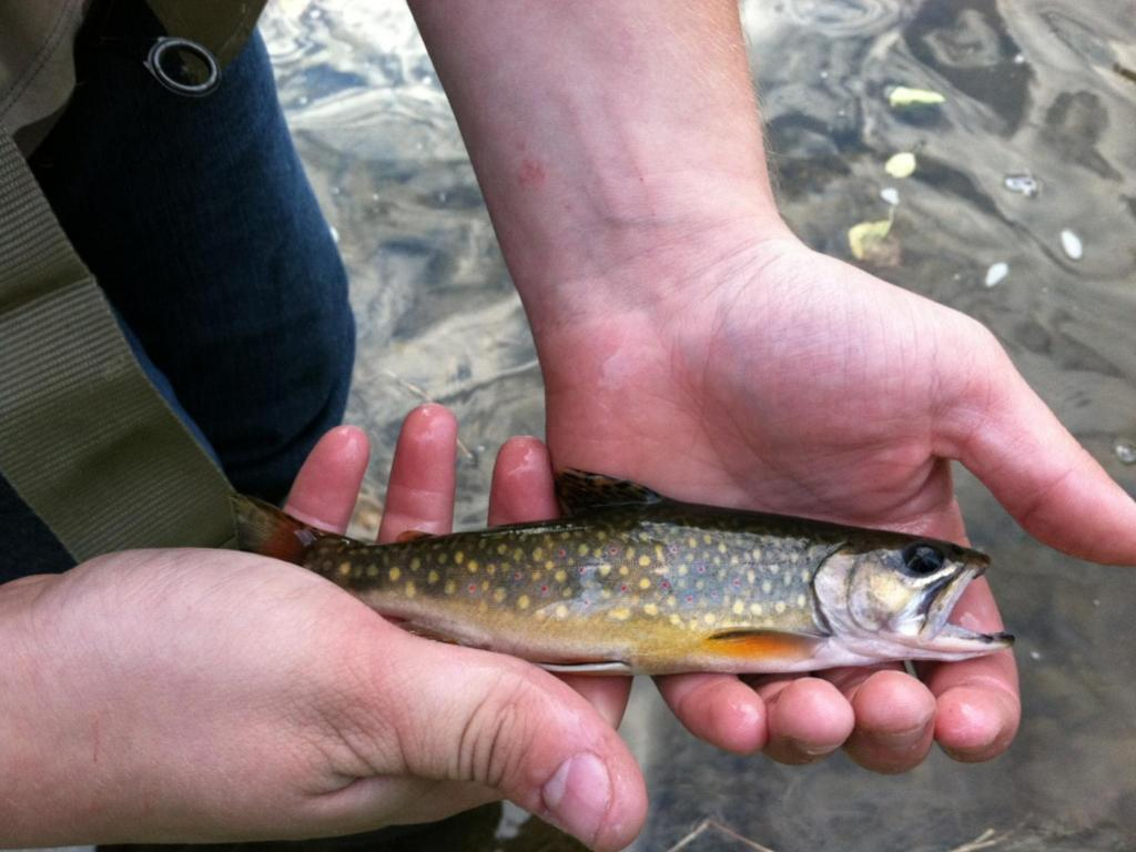 Wild Brook Trout From Chester County