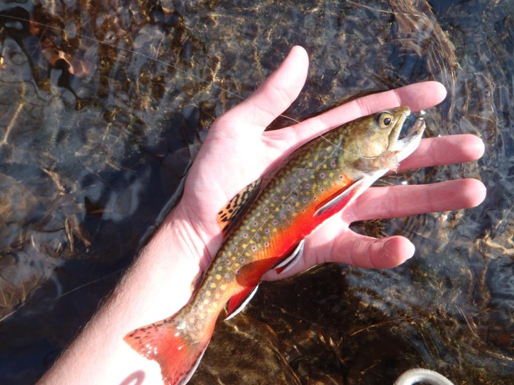 Dry Fly Brookie