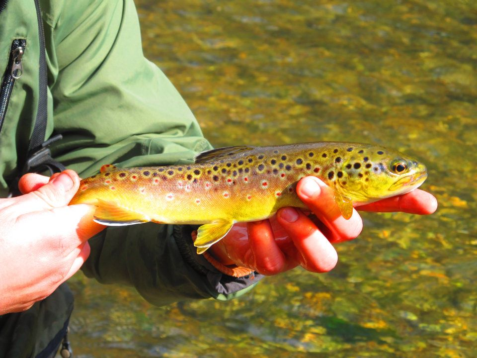 A Spring Creek Brown