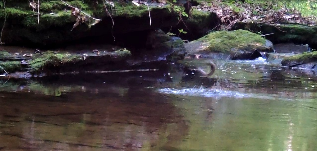 leaping brookie