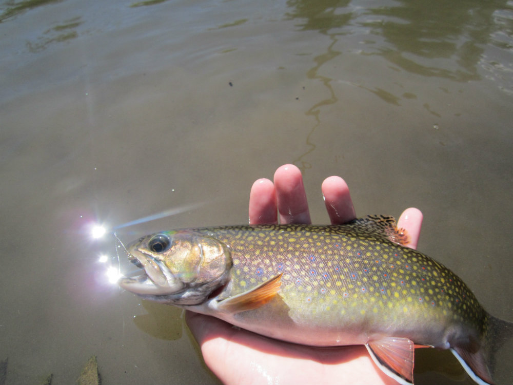 Potter County Brookie