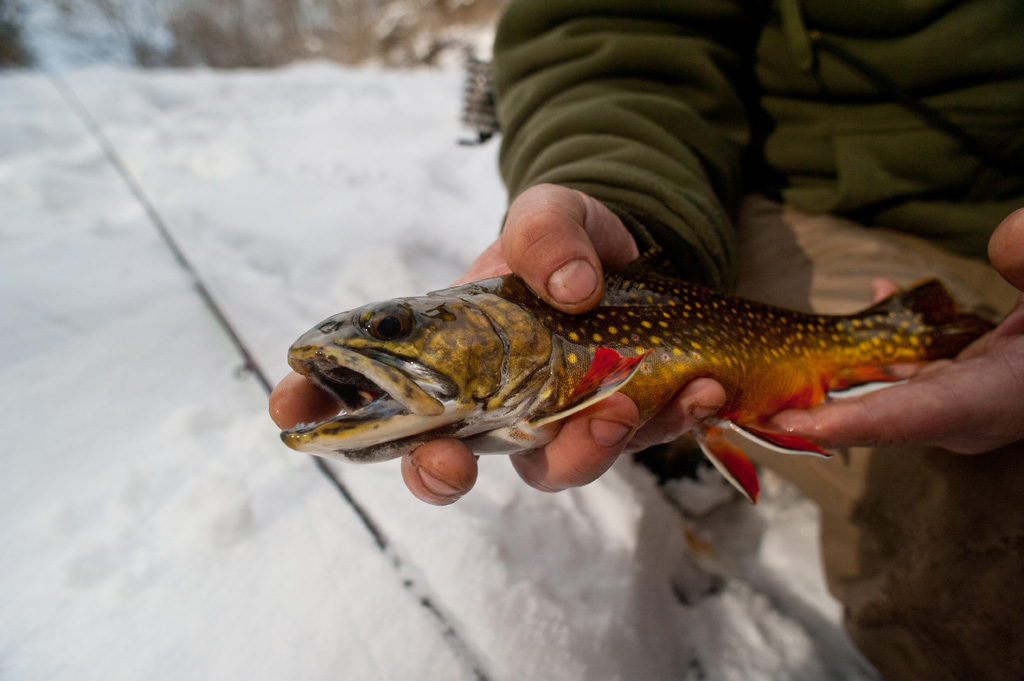 Big Spring Brookie with color