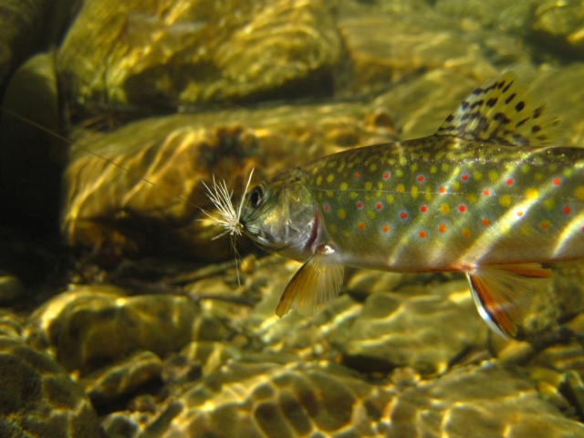 A mountain brookie...