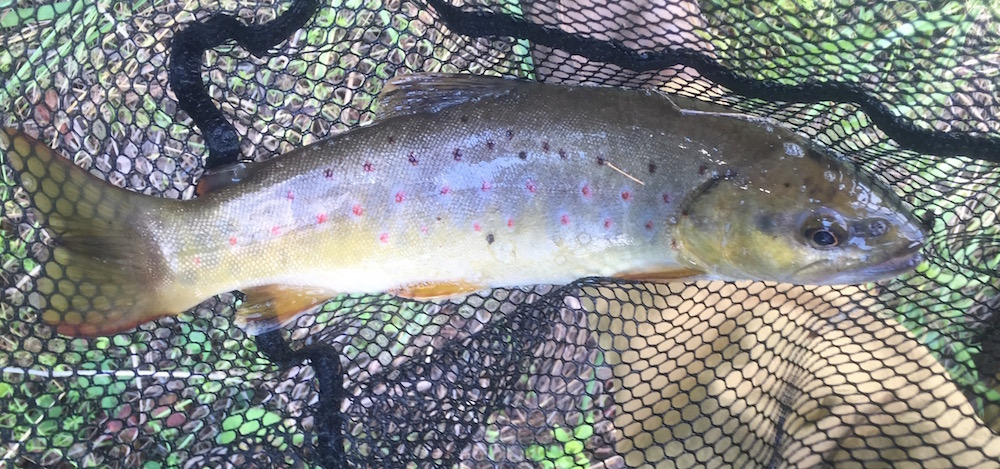 Southern Chester County Wild Brown