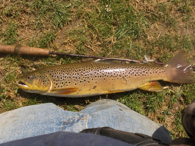 big holdover brown trout