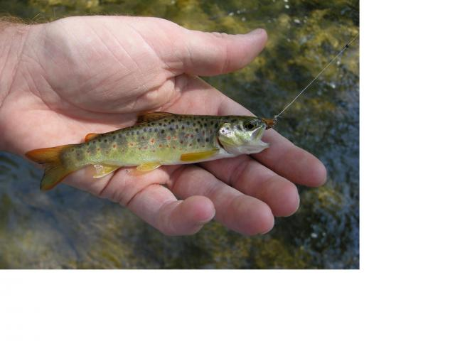 Small Spring Creek Brown