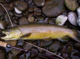 Wild Brown on Stocked Water