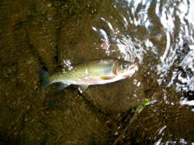 Large North Branch Cutt