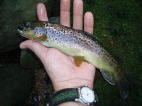 West Branch Brown