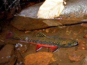 My Most Colorful Brookie, After Release (3)
