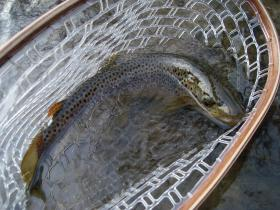 Gator Brown Trout