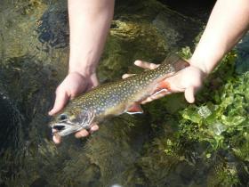 13 inch Wild Brookie