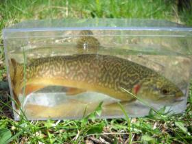 wild tiger trout!