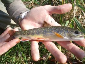 Fishing Creek Brookie