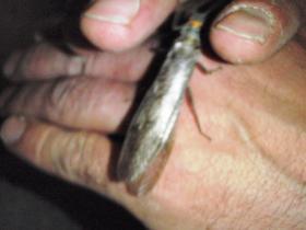 big stonefly, May 2010