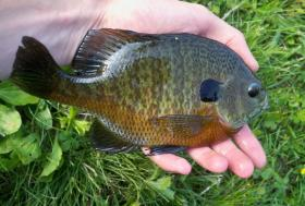 Behold...the bluegill!