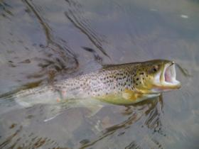 My first brown trout