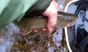 Nice sized brookie