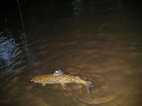 Brown Trout at Dusk
