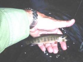 Clarks Wild Trout
