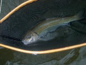 Valley creek  chub