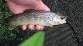 Newbie Dry Fly Brown