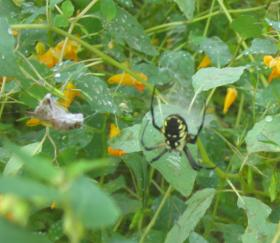 Orb Weaver With Grasshopper