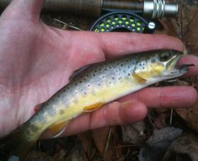 Lancaster Co. wild brownie