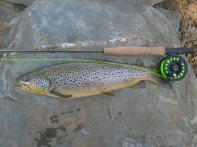 First Brown on a fly