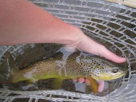 Beautiful Wild Brownie