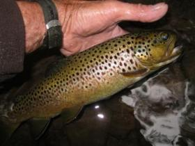 Fat wild brown