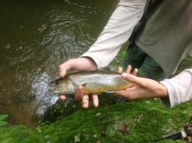 "wild brook trout for nick r "" more coming and a tiger trout"""