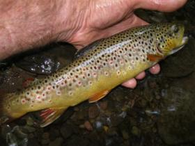 Clinton county wild brown