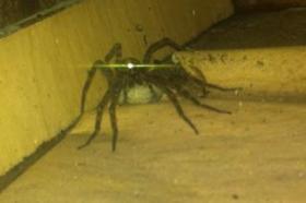 Giant Wolf Spider!
