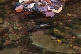 Brook trout eating brook trout