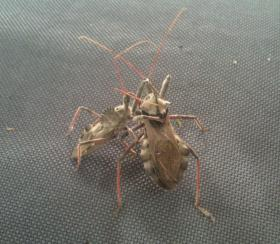 Assasin Bug Wrestling