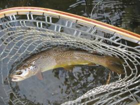 Savage River Wild Brown