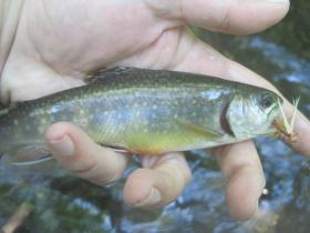 Perry County Brook Trout