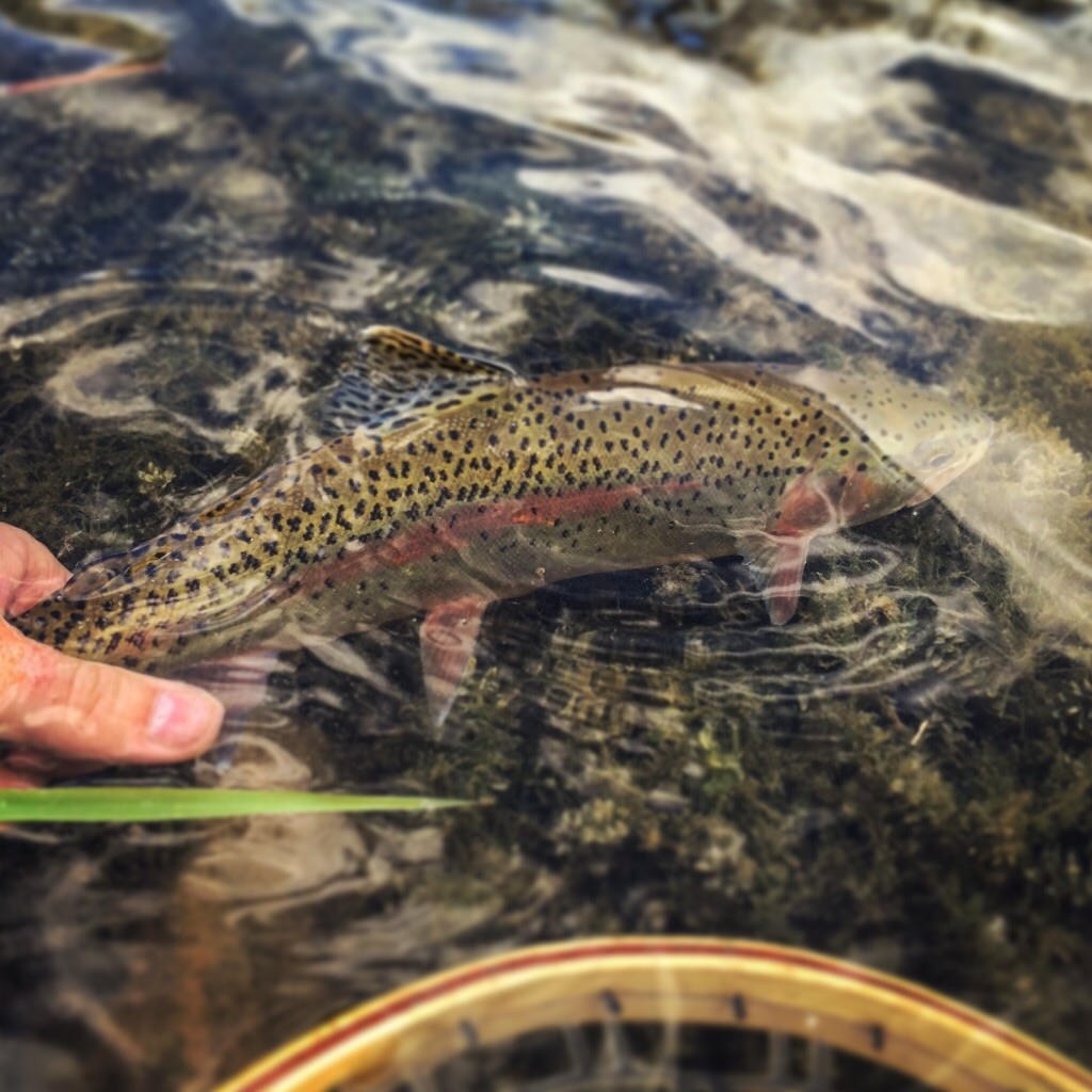 Big Spring Bow release